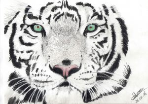 tigre-blanc1